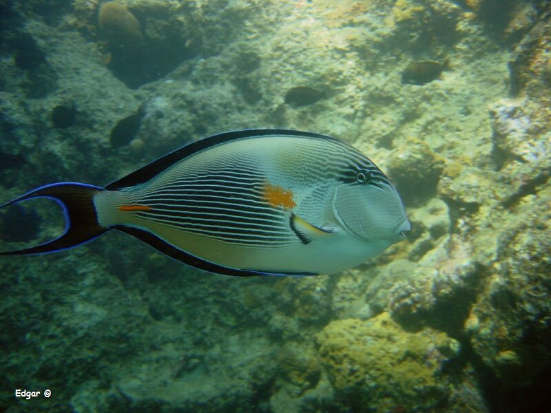 behandeling witte stip bij vissen
