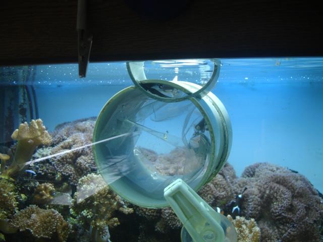 Kweken Anemoonvissen