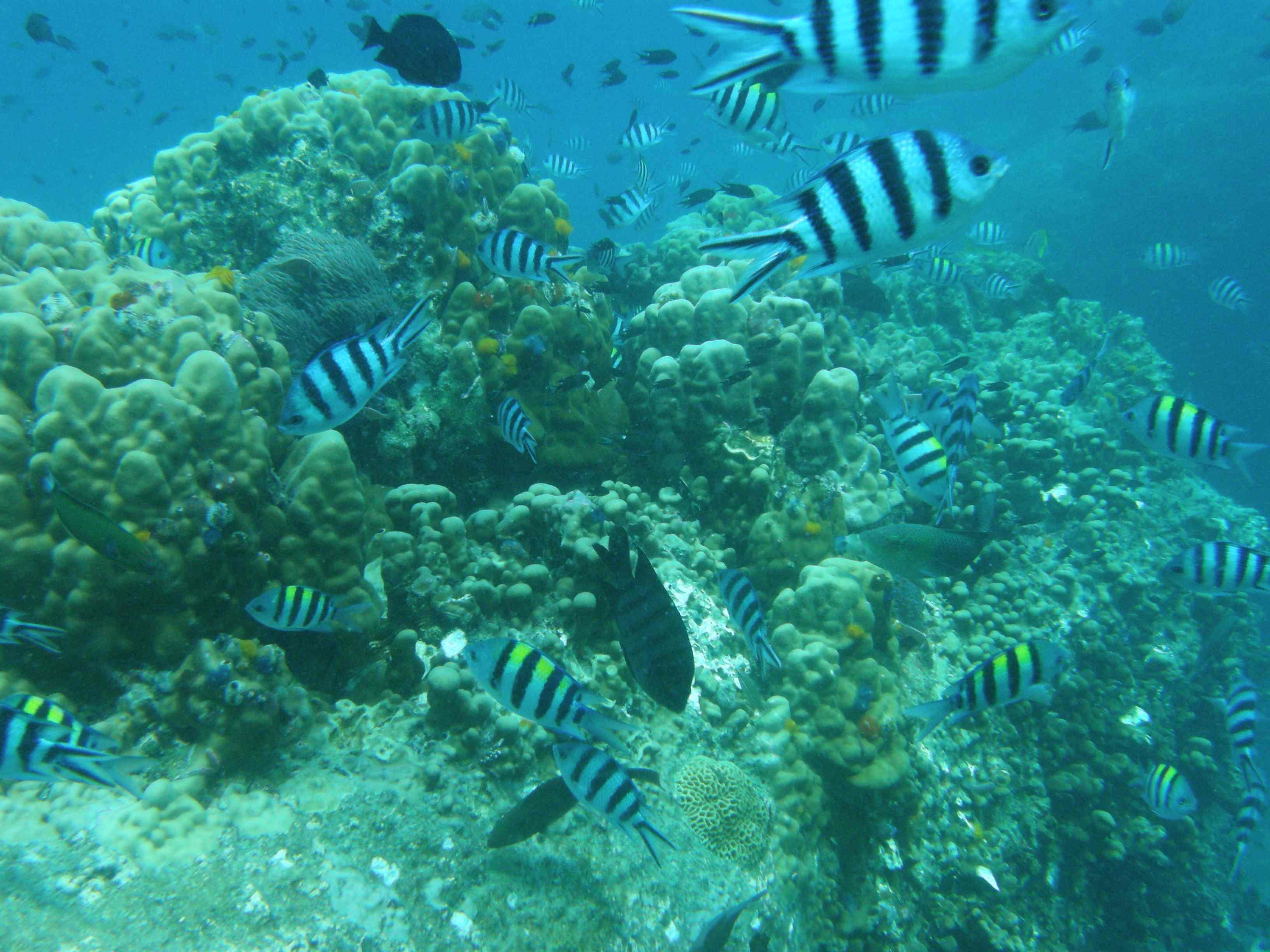Kalkafzetting koralen neemt af
