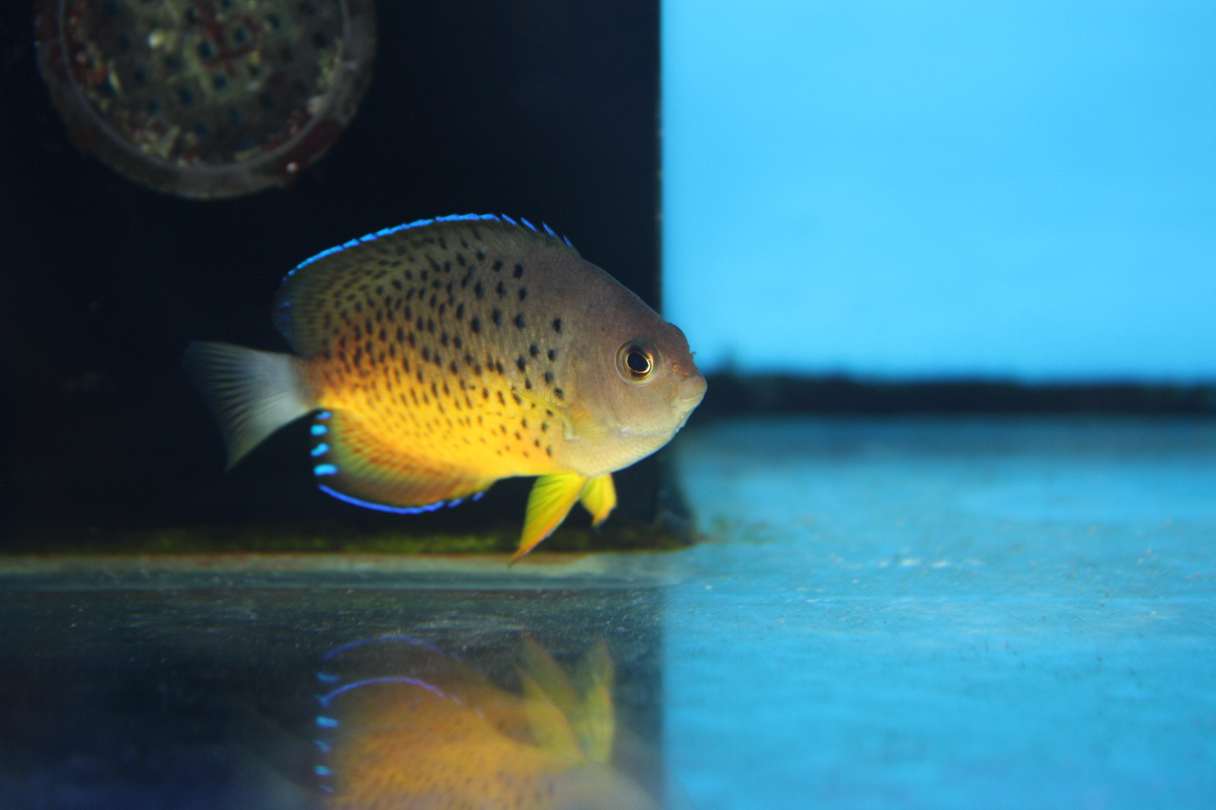 kleur jonge goudvissen