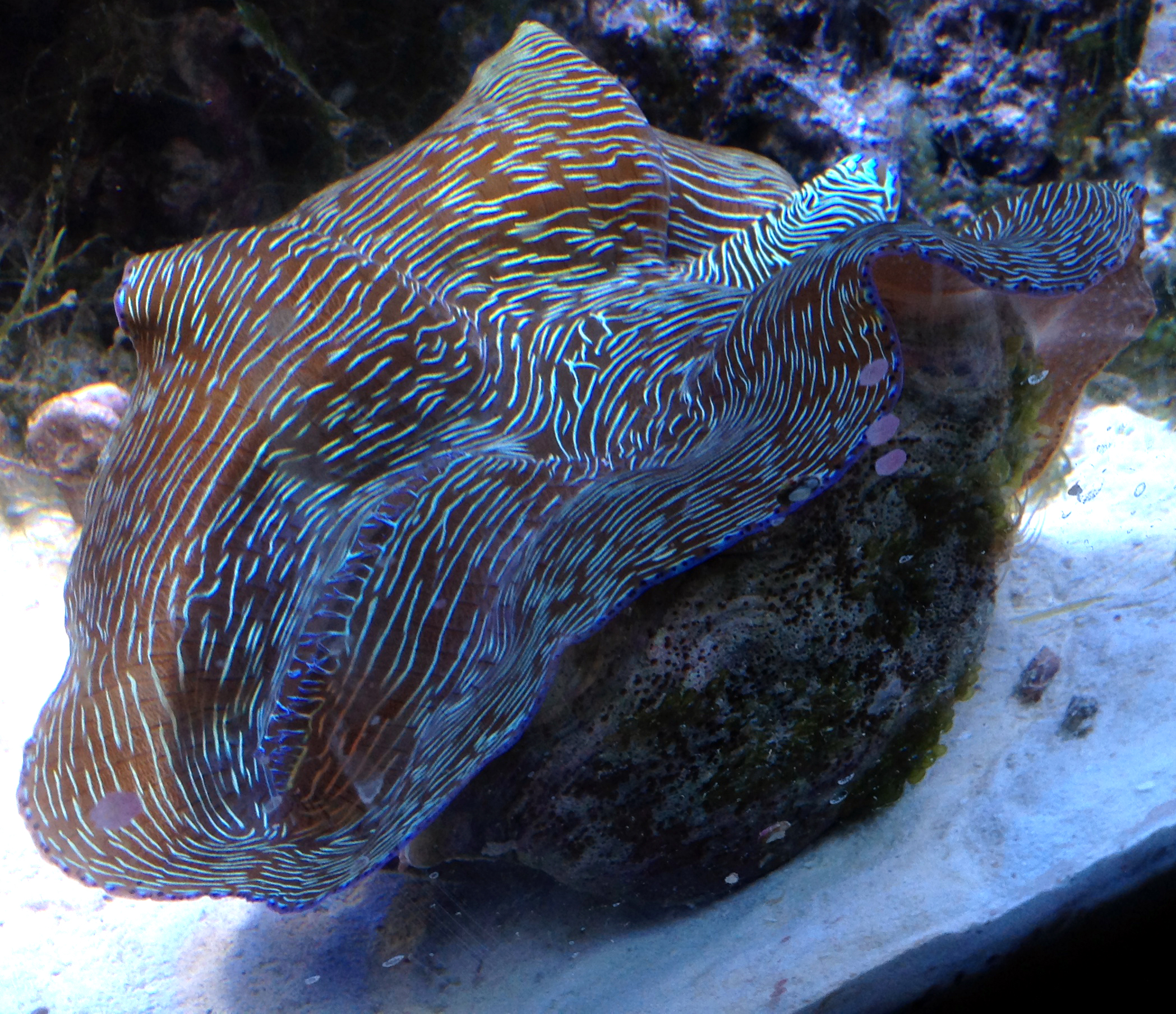 Tridacna derasa in aquarium