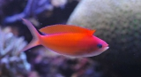 anthias_dispar2