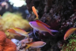 anthias_dispar4