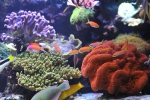 anthias_dispar5