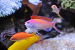 anthias_dispart1
