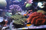 anthias_dispart6